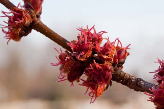 silver maple female flowers