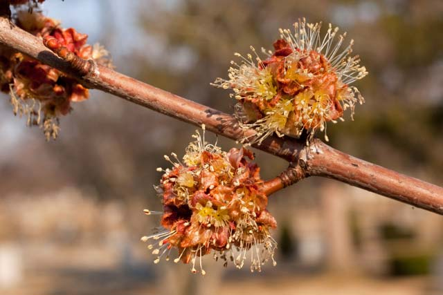 silver maple male flowers