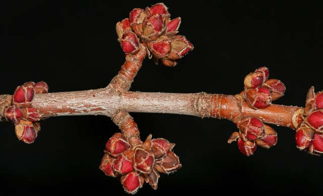 silver maple twig