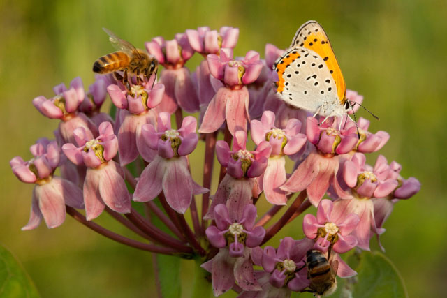 Sullivant's milkweed and bronzed copper