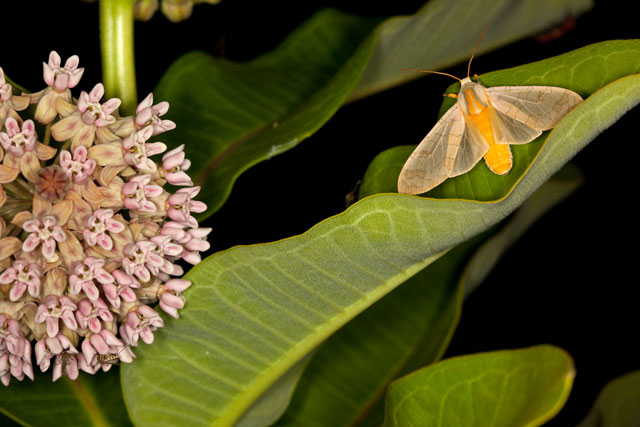 common milkweed and moth