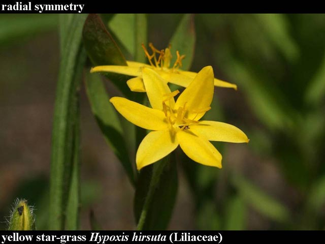 yellow star-grass