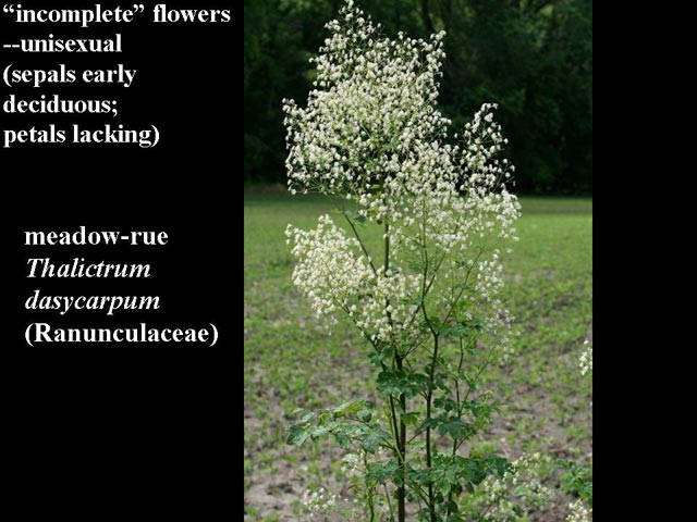 Incomplete flowers are generally unisexual plants