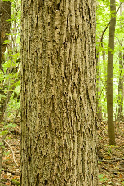 how to secretly kill a walnut tree