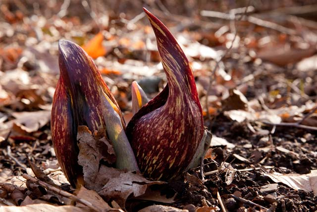 skunk cabbage backlit