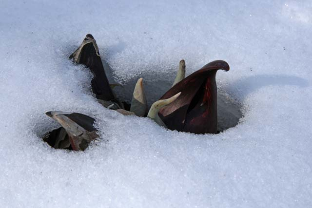 skunk cabbage poking through snow