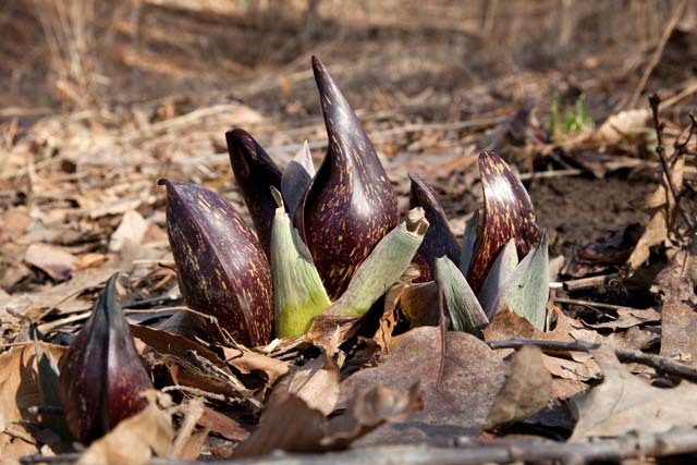 skunk cabbage group