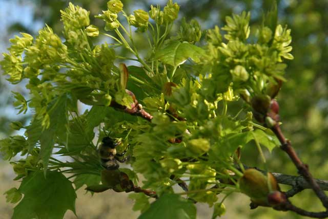 bee visits Norway maple