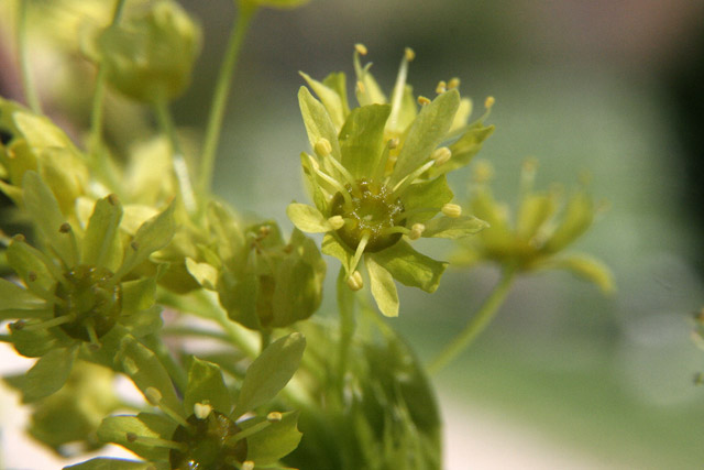 Norway maple flowering branch