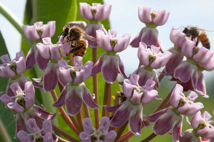 bee forages on milkweed