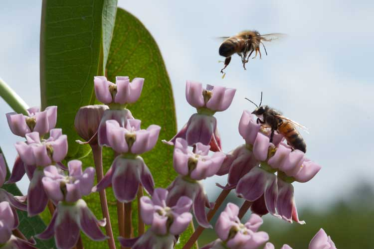 bee flies away from milkweed