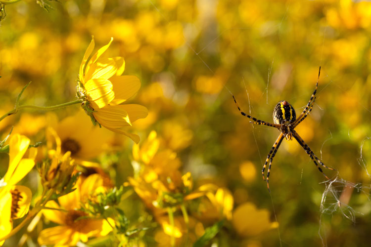 Bidens and Argiope