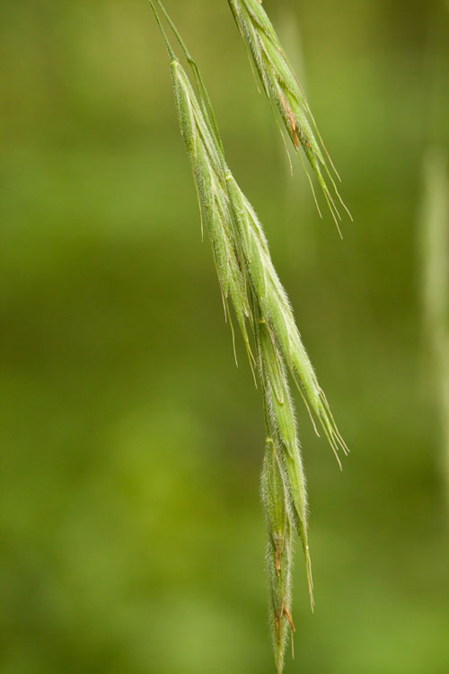 Canada brome spikelets