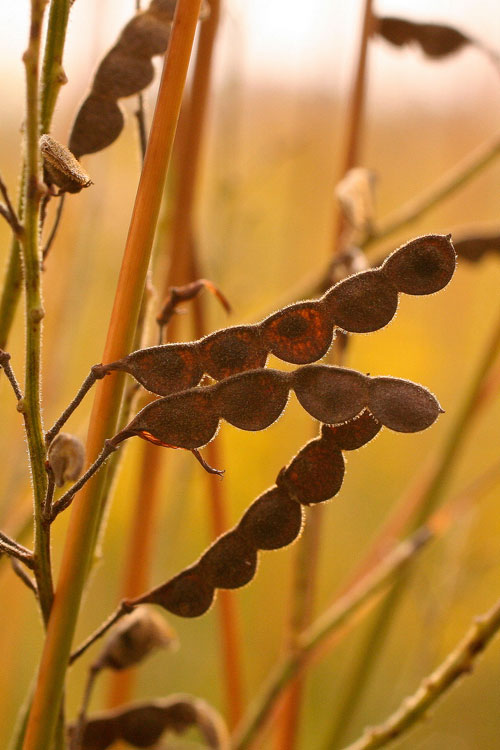 tick-trefoil fruits