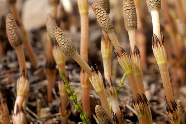 common horsetail