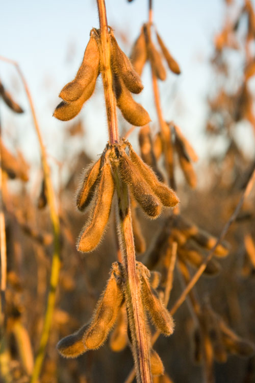 soybean fruits