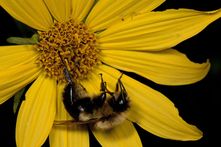 bumblebee sleeps on sunflower
