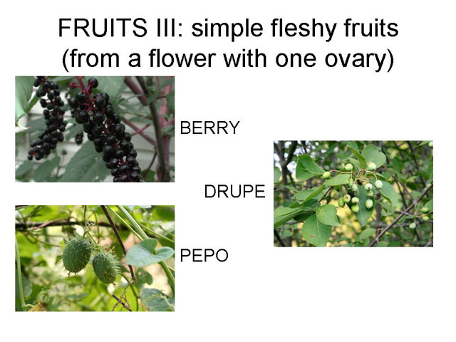 Simple Fleshy Fruits