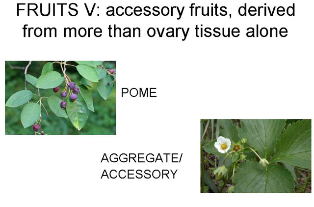 acessory fruits
