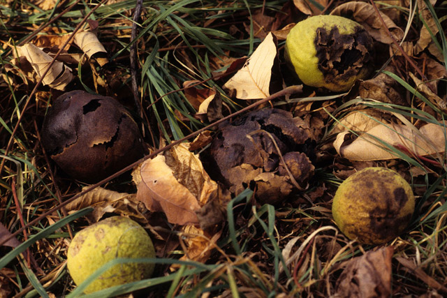 walnut fruits on the ground