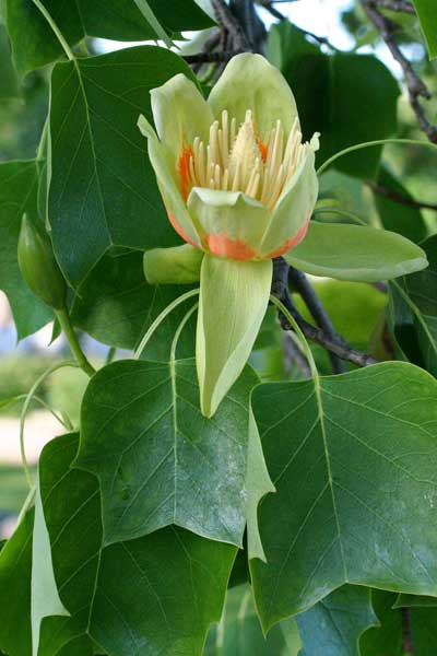 tulip-tree flower