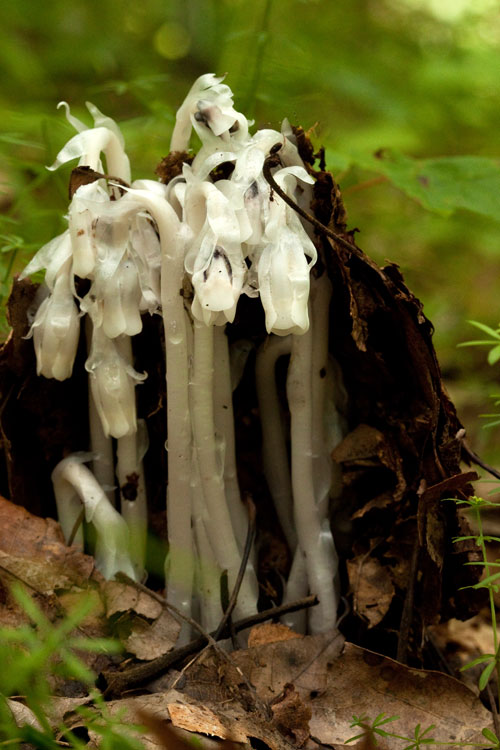Indian-pipes