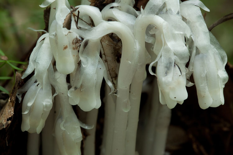 Indian pipes flowers