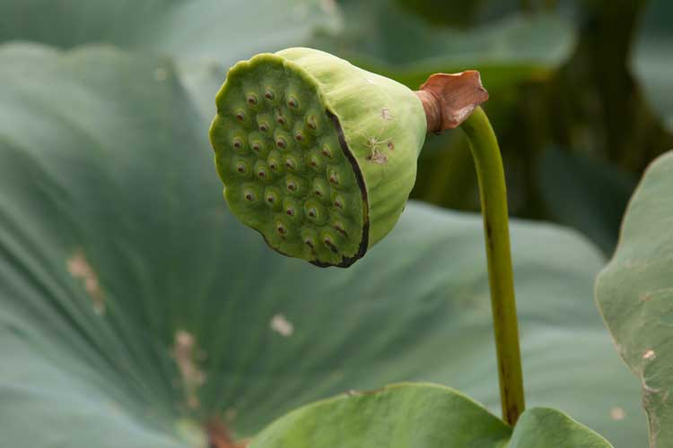 Nelumbo receptacle