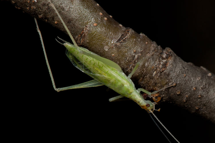 narrow-winged tree-cricket