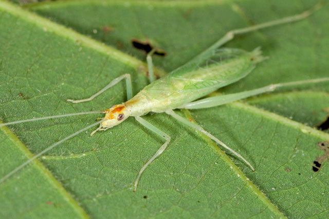 narrow-winged tree cricket