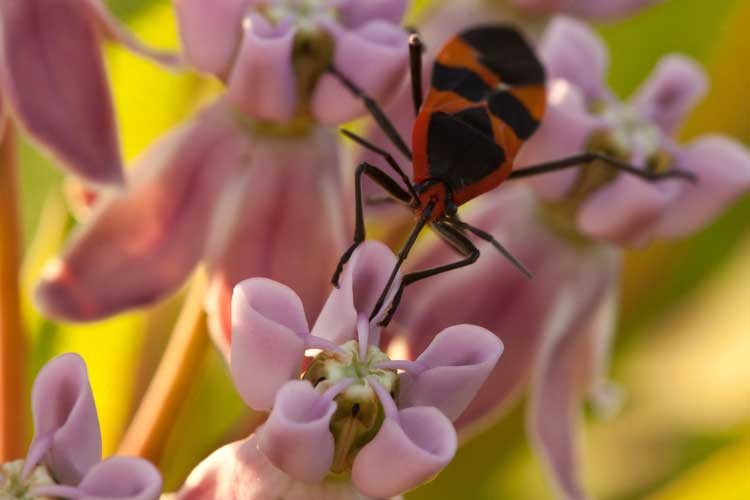 Oncopeltus fasciatus, the large milkweed bug