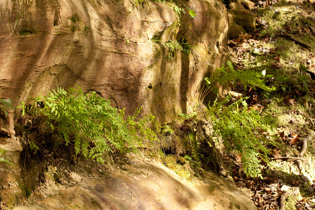 royal fern on a sandstone ledge