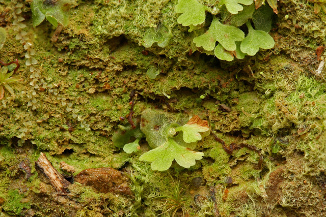 gametophyte stage - photo #9