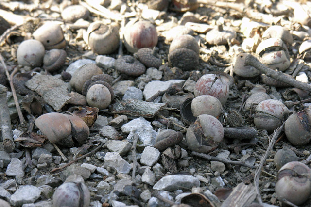 acorns on the ground