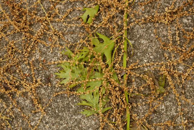 What does oak pollen look like