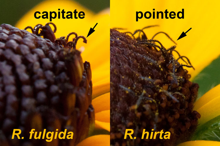 Rudbeckia styles compared