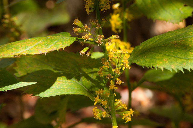 large-leaved goldenrod