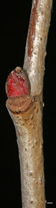 basswood twig lateral