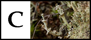 C is for Cladonia