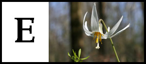 E is for Erythronium