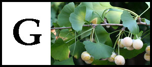 G is for Ginkgo