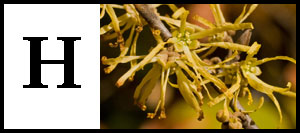 H is for Hamamelis