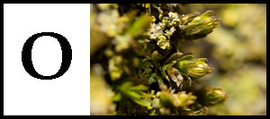 O is for Orthotrichum