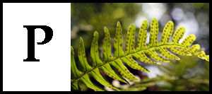 P is for Polypodium
