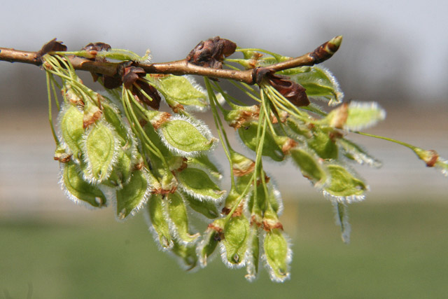 American elm fruits