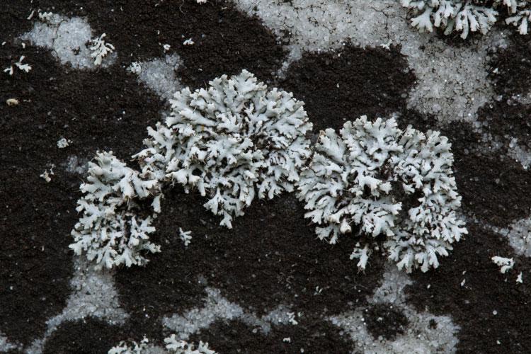 Physcia adscendens lichens