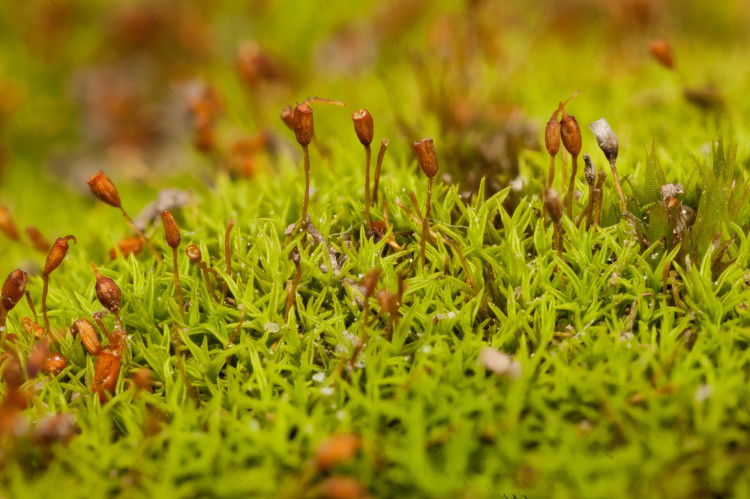 Pigtail moss is a small acrocarp typically found in calcareous areas.