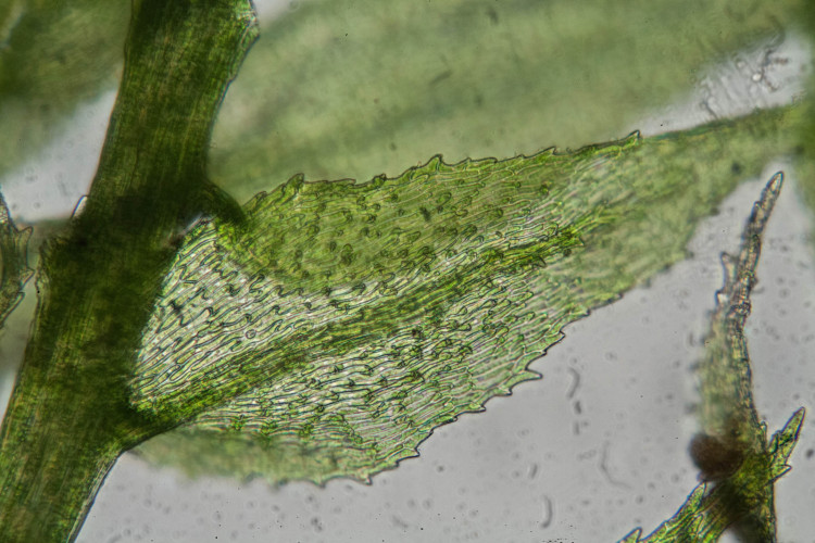 Bryhnia leaf cells are pointed (papillose) at the ends.