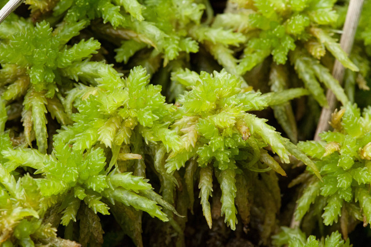 Sphagnum palustre, or something like it.