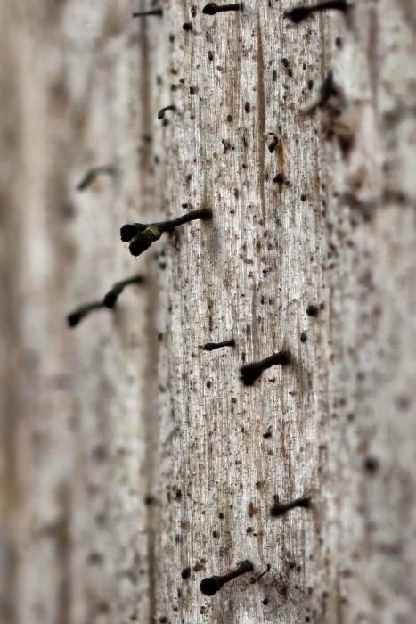 Calicium trabinellum is a stubble lichen.